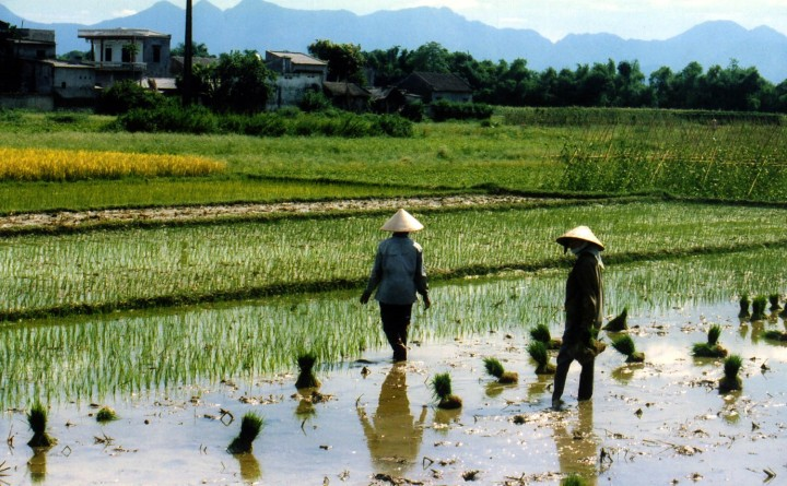 rice field workers thai nguyen