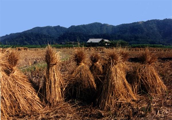 rice sheaths