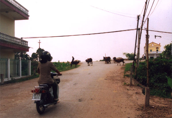 our-street-with-cows
